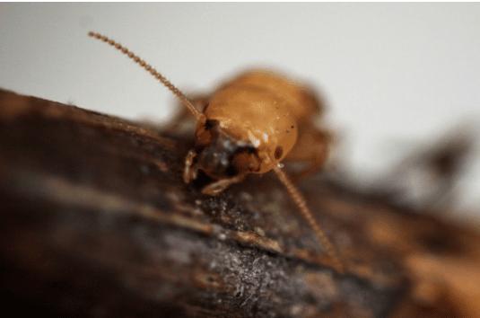 Loi termite que dit la loi contre les insectes xylophages et les termites - Ver de bois ou termite ...